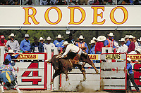BULL RIDING EVENT OF CA. RODEO. RODEO BULLRIDER. SALINAS CALIFORNIA USA.