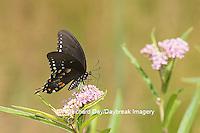 03029-01508 Spicebush Swallowtail Butterfly (Papilio troilus) on Swamp Milkweed (Asclepias incarnata), Marion Co., IL
