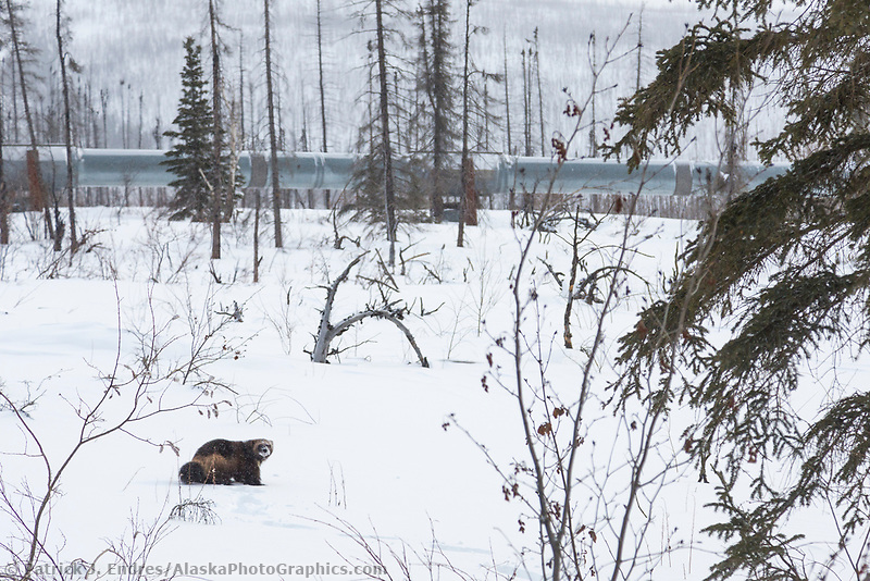 Wolverine on the snowy tundra near the Trans Alaska Oil Pipeline in Arctic, Alaska.
