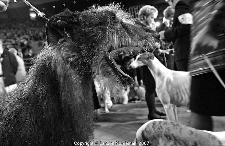 """NEW YORK - FEB 10:  A Scottish Deerhound named, """"Champion Po Dusham Dalwhinnie D'Lux"""" opens it's mouth wide as a Greyhound, right, is seen in the background as they wait to compete in the Hound Group division of the 128th Annual Westminster Kennel Club Dog Show at Madison Square Garden in New York City on Tuesday February 10, 2004. (Photo By Landon Nordeman)"""