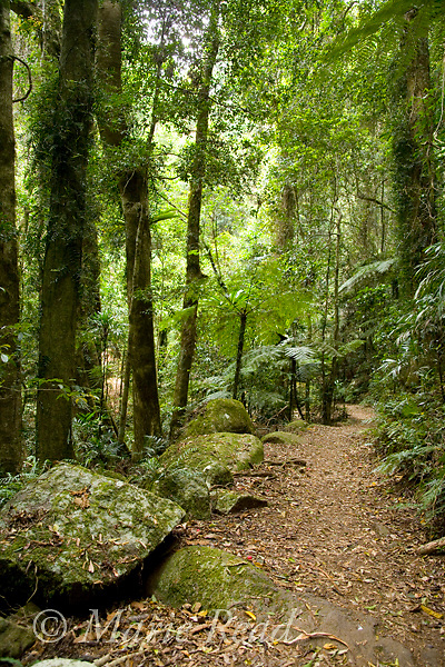Boulders and tree ferns along Border Track, Green Mountains section of Lamington National Park, Queensland, Australia