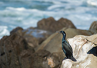 Brandt's Cormorant, Phalacrocorax penicillatus, on the Pacific Coast in Sonoma County, California