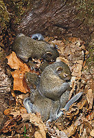 Baby squirrels sleeping in nest of leaves