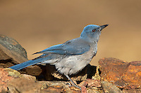 551130021 a wild  mexican jay alphelocoma wollweberi perches on a rock in madera canyon green valley arizona united states