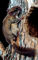 A Southern Flying squirrel.