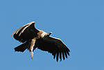 Griffon Vulture soaring with legs lowered .