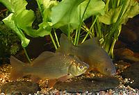 Karausche, Moorkarpfen, Moor-Karpfen, Carassius carassius, Crucian carp