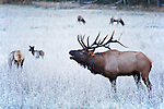 Frosty morning and bugling bull Elk (Cervus canadensis)