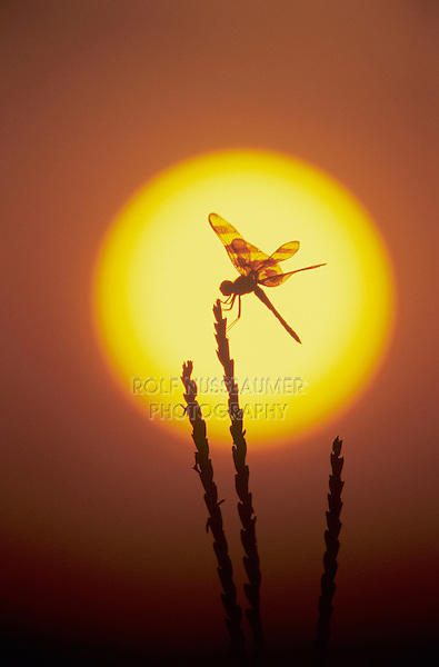 Halloween Pennant, Celithemis eponina, adult at sunrise, Welder Wildlife Refuge, Sinton, Texas, USA