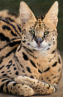 678050001 portrait of a serval felis serval wildlife rescue