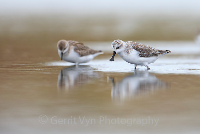 A Spoon-billed Sandpiper joins other long distance migratory shorebirds feeding on mudflats near Rudong, China. This bird is about to grab a small flying insect. October.