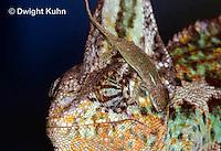 CH49-545z  Veiled Chameleon juvenile climbing on male, Chamaeleo calyptratus