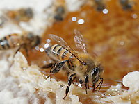 Honeybee on honey
