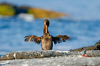 flightless cormorant, or Galapagos cormorant, Phalacrocorax harrisi, drying its wings, endemic species which has lost the ability to fly as there are no predators in the islands to prey on it, Galapagos Islands, Ecuador. This Galapagos endemic cormorant, bird,., Pacific Ocean