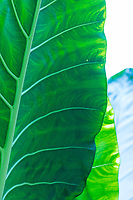 Close-up of a large rainforest leaf in Kaua'i.