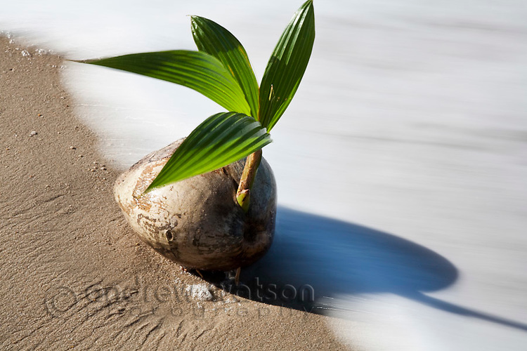 Coconut palm washed up on beach.  Palm Cove, Cairns, Queensland, Australia