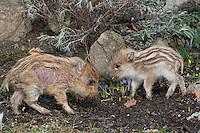 Wildschwein, verwaiste, pflegebedürftige, in Menschenhand gepflegte, zahme Jungtiere spielen und wühlen im Garten, ein Frischling mit starker Räude (lat. Scabies) Milbenerkrankung, Krankheit, wird in menschlicher Obhut großgezogen, Jungtier wird von Hand aufgezogen, Aufzucht eines Wildtieres, Wild-Schwein, Schwarzwild, Schwarz-Wild, Frischling, Junges, Jungtier, Tierkind, Tierbaby, Tierbabies, Schwein, Sus scrofa, wild boar, pig