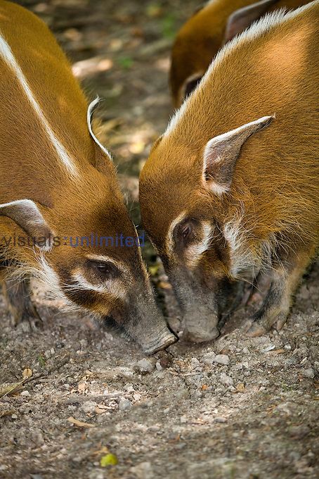 Adult Red River Hogs (Potamochoerus porcus) looking for food, Africa.