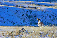 Pronghorn Antelope (Antilocapra americana) buck on grasslands along northern boundry of Yellowstone National Park, Montana.  December.   Has lost the outer sheath of his horns.