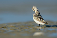 Juvenile Sanderling (Calidris alba) preening on mudflats in the Altamaha River Estuary. Glynn County, Georgia. October.