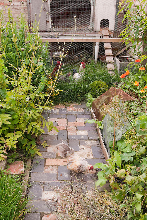 Chicken coop in backyard with free range roosters in garden and pathway