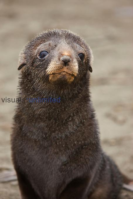Antarctic Fur Seal (Arctocephalus gazella) pup face, South Georgia.