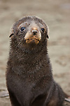 Antarctic Fur Seal (Arctocephalus gazella) pup face, South Georgia.