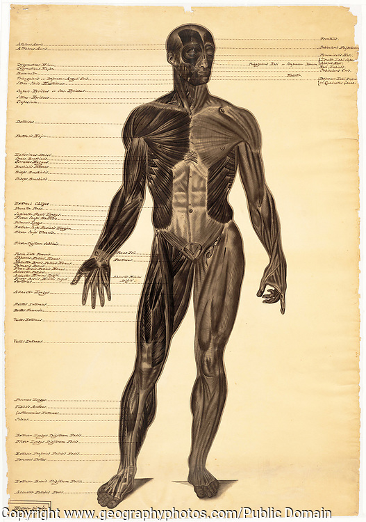 Anatomical drawing male figure, one of three, by American female artist Harriet Hosmer