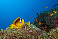 Twobar Anemonefish in Coral Reef, Amphiprion bicinctus, Ras Mohammed, Egypt, Red Sea, Indian Ocean