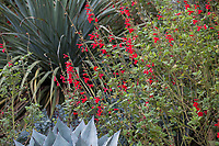 Salvia darcyi, Galeana Red Mexican Sage, red flowering perennial in  Kuzma Garden with Nolina nelsonii Blue Nolina
