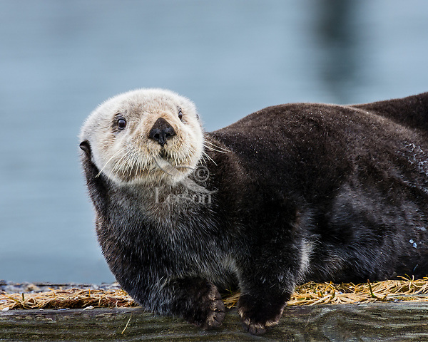 Adult Sea Otter (Enhydra lutris) on old boat dock,  Prince William Sound, Alaska.