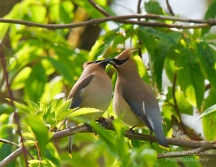 Gift card photo (set of 4) of two Cedar Waxwings sharing seed sitting on a branch in the Ridgefield National Wildlife Refuge
