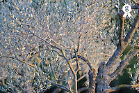 Olives tree detail at dusk (Licence this image exclusively with Getty: http://www.gettyimages.com/detail/82406585 )