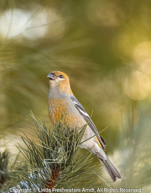 In honor of the centennial of the Migratory Bird Treaty Act and The Year of the Bird; A female pine grosbeak perched on a pine tree in northern Wisconsin. What a treat to have them around this winter!