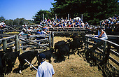 Cattle are moved into the sale ring at the Houhora sale yards. Far North, Northland, New Zealand.