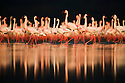 Large flock of lesser flamingos (Phoenicopterus minor) with reflection in Lake Nakuru, Lake Nakuru National Park