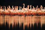 Large flock of lesser flamingos (Phoenicopterus minor) with reflection in Lake Nakuru, Lake Nakuru National Park
