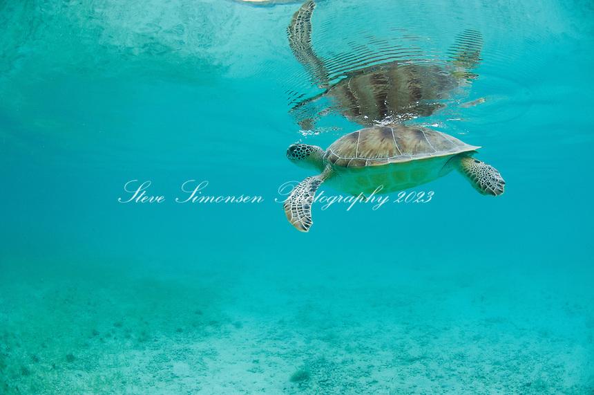 Green Sea Turtle (Chelonia mydas)<br /> Virgin Islands National Park<br /> St. John<br /> U.S. Virgin Islands