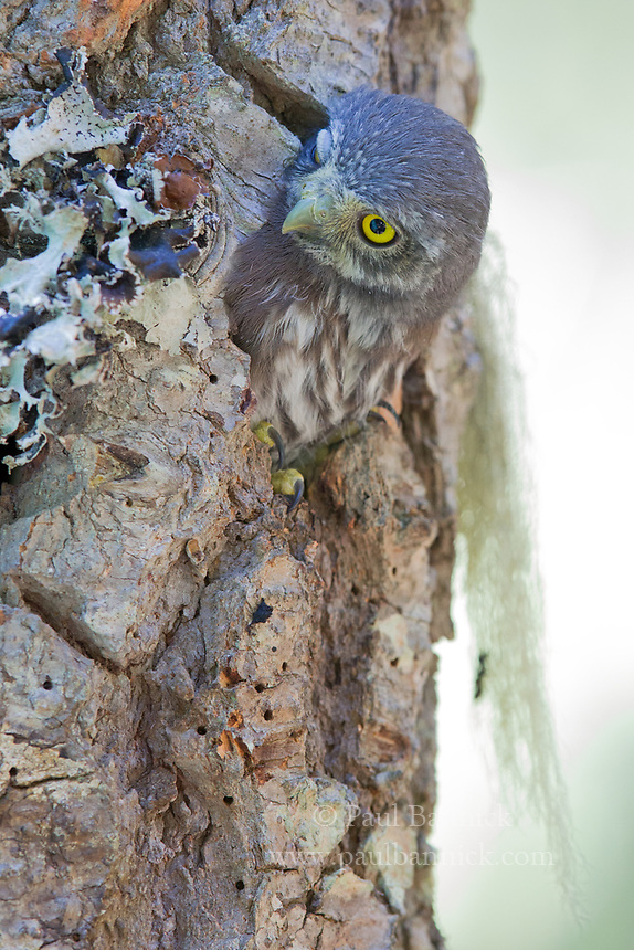A Northern Pygmy-Owl, minutes before fleding, looks out from the lip of its nest cavity.