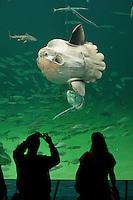 Mondfisch, Mond-Fisch, Klumpfisch, in öffentlichem Meeresaquarium, Aquarium, wird von Besuchern vor der Scheibe fotografiert, Mola mola, Sunfish, ocean Sunfish, Klumpfisk