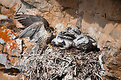 This mom had a reluctance to give them a prey.  It means these chicks have to be able to fly soon.