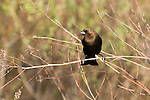 Brown-headed cowbird (Molothrus ater), male, perched in the brush