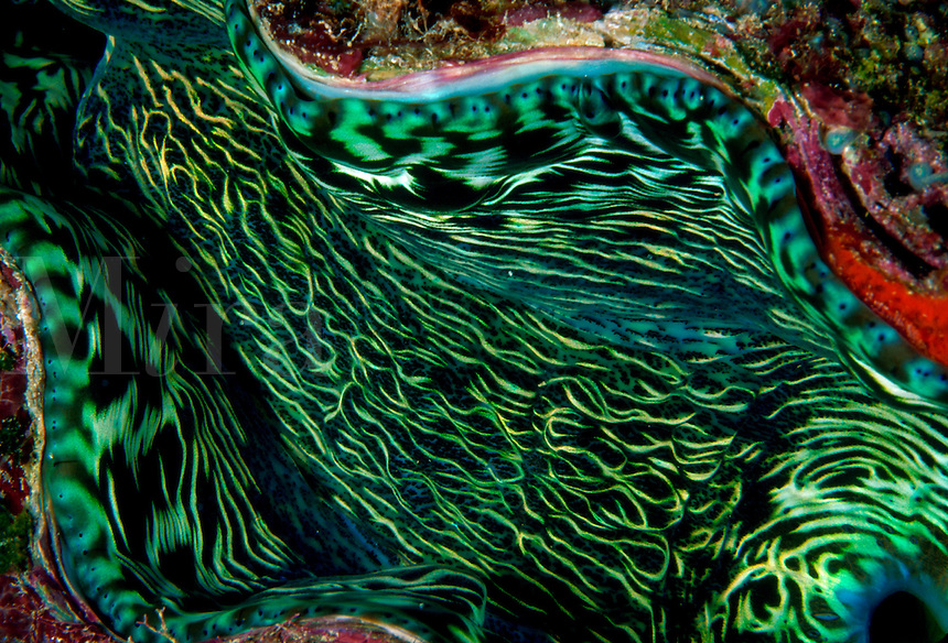Horizontal image close up of the beautifully patterned flesh of the Giant clam (tridacna gigas) nmantle - Fiji Islands.