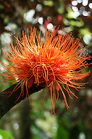 Ohia found on the Big Island of Hawaii.
