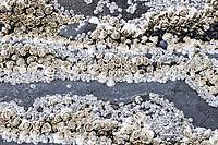 Barnacles (Balanidae), Hellnar, Snæfellsness, Snæfellsnes, Iceland, Europe