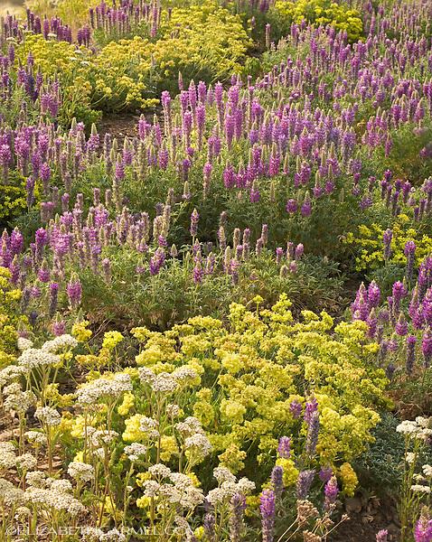 Lupine Garden IV
