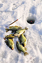 00247-012.10 Black Crappie: Crappies and one sunfish are diplayed on ice with ice rod and bobber in hole.  Fish, angle, lake, river.