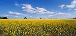 Canola field near Wagin. Western Australia. Australia.