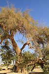 Israel, Arava, Christ's Thorn Jujube tree in Ein Hatzeva