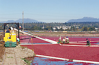 Richmond, BC, British Columbia, Canada - East Indian Agricultural Workers harvesting Cranberries (Vaccinium macrocarpon) from Bog Boom in Flooded Field, to Conveyor Belt to Crates, on Cranberry Farm